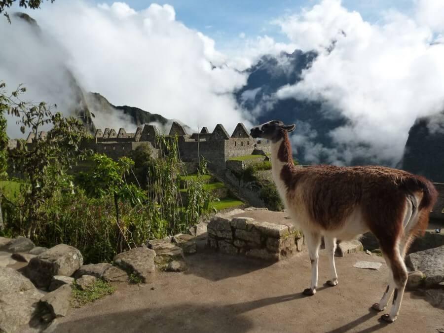 Lama view at Machu Pichu