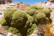 Yareta Cushion plants