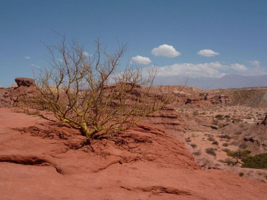 Tree in desert of cafayate