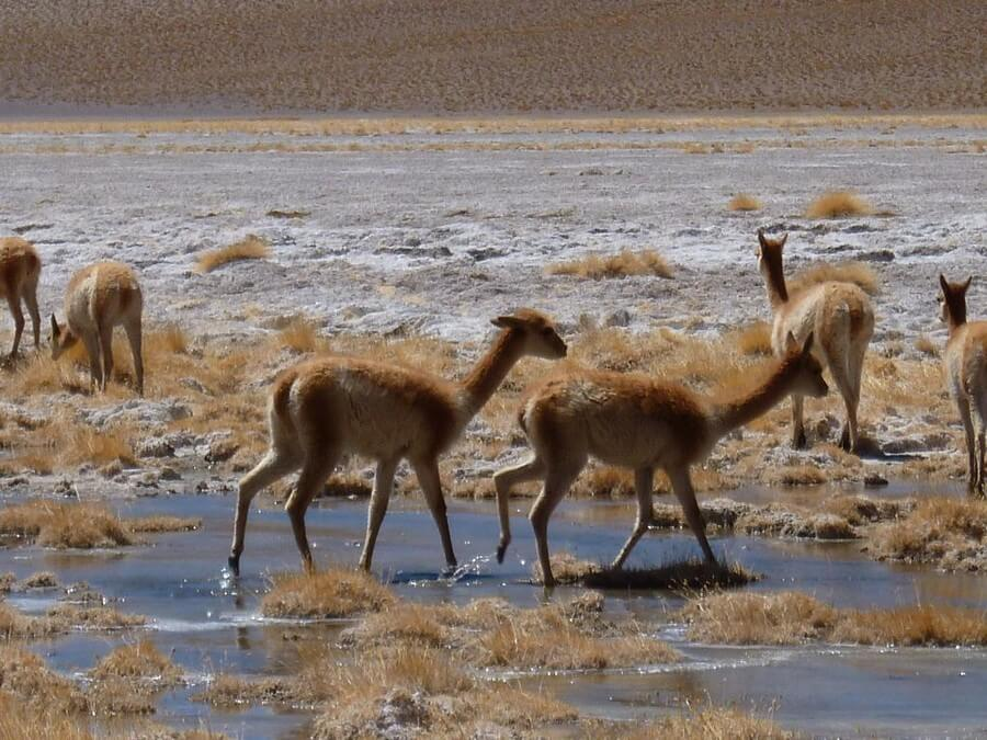 vicuñas, surrealistische maarreizen Bolivia