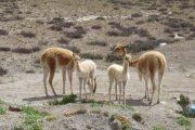 Baby vicuñas in Colca