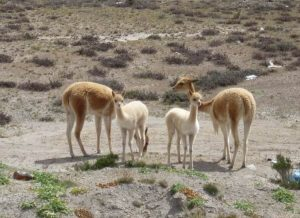 Baby vicuñas in Colca Canyon tour