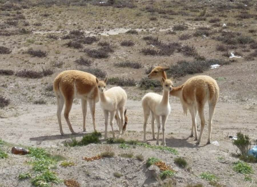 Baby vicuñas