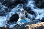 Posing Blue Footed Booby