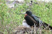 Nestling Frigate Bird