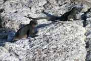 Black marine iguanas