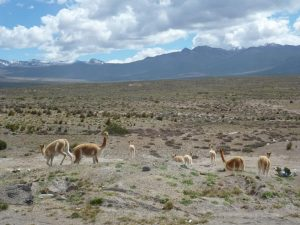 Vicuñas in the Colca Canyon