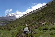 Lamas and Chimborazo on trail