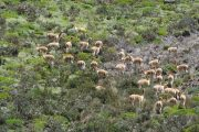 Vicuñas on Volcano Hike