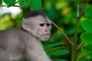 Capuchin monkey in the Amazon