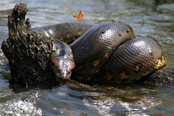 Anaconda in Amazon