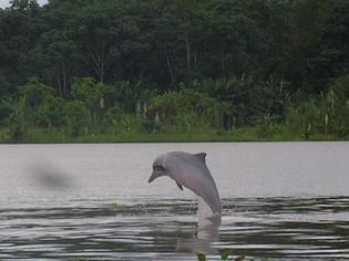 Grijze roze zoetwater dolfijn Ecuador