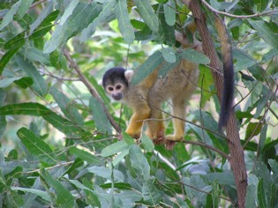 Squirrel monkey Amazon tours