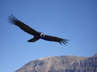 Condor Colca Canyon