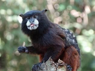 Tamarin Monkey in the Amazon