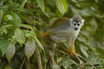 Squirrel monkey Cuyabeno Amazon