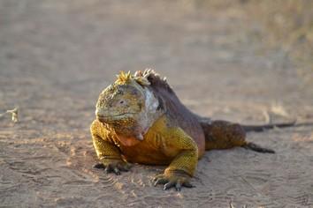 Galapagos Iguana Ecuador