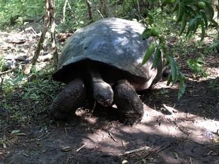 Reuzen Galapagos schildpad Ecuador