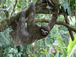 Sloth Iquitos Amazon