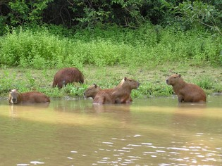 Capybaras Amazon tour