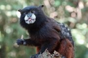 Tamarin monkey in the Amazon