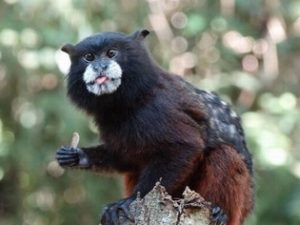 Tamarin Monkey customized Amazon tours