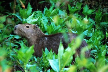 Capybara in the Amazon
