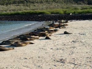 Sea lions Galapagos beach
