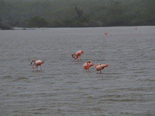 Flamingos Galapagos lake