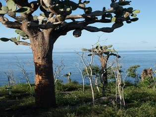 Cactus trees Galapagos Islands