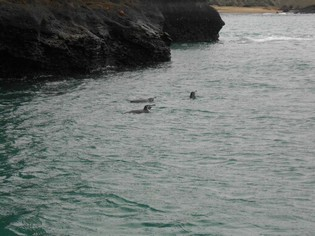 Sea Lions swimming Galapagos