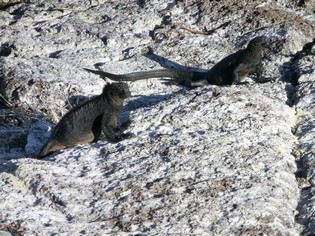 Marine Iguanas on the Galapagos Islands