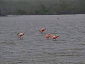 Flamingos Galapagos Islands