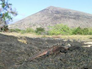 Leguaan Galapagos Eilanden Ecuador