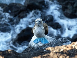 Blue Footed Booby on the Galapagos