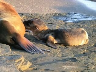 Baby zeeleeuw Galapagos