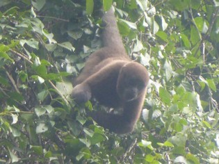 Wooler monkey in Amazon