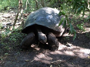 Giant tortoises on the Galapagos