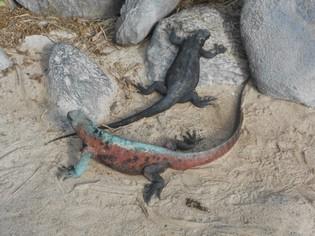 Leguanen Galapagos tours Ecuador