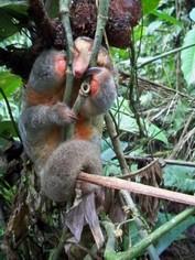 Baby anteater Amazon Ecuador