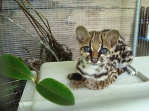 Marvin, baby ocelot at Merazonia