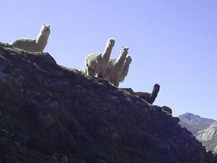 Lama's Vaqueria Cedros trek Huaraz