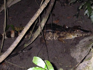 Caiman Cuyabeno Amazon tour