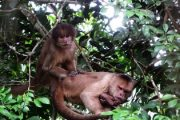 Capuchin Monkeys in the Amazon