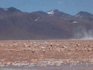 Flamingos Laguna Colorada Bolivia