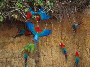 Macaw Clay-lick Tambopata