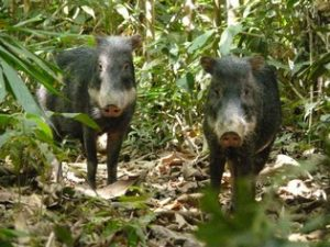 Peccaries Amazon Peru tour