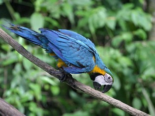 Macaw in Amazon