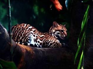 ocelot-amazon-rainforest-tours