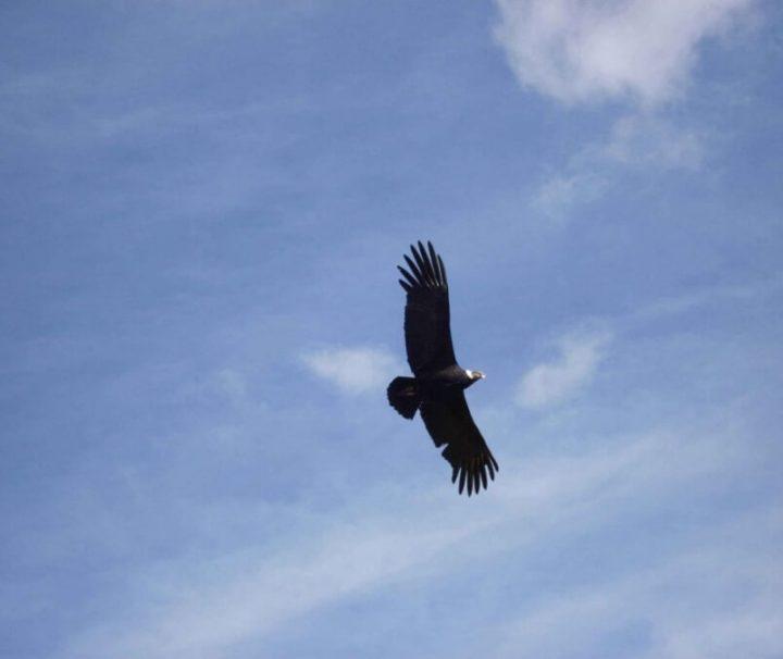 Condor Cotahuasi Canyon